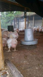 Matured Broilers for sale